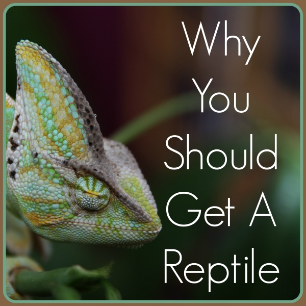 Why Do Reptiles Make Such Good Pets Cpc Cares Blog