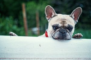 Interested Dog - The Dog Bark Decoded: What Is My Dog Saying? - Petrest