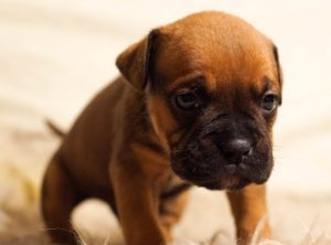 Pain Dog - The Dog Bark Decoded: What Is My Dog Saying? - Petrest