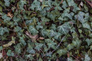 Ivy - Toxic garden plant
