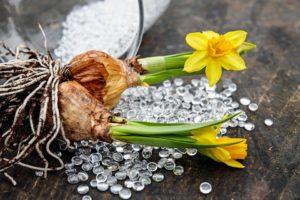 Daffodils - Toxic Palnts