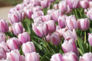 Toxic Plant - Lillies