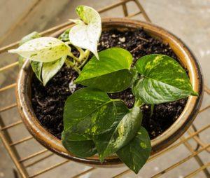 Pothos Plant, non lethal but toxic garden plant