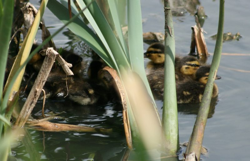 Gardens of remembrance - Ducklings huddled together in the pond