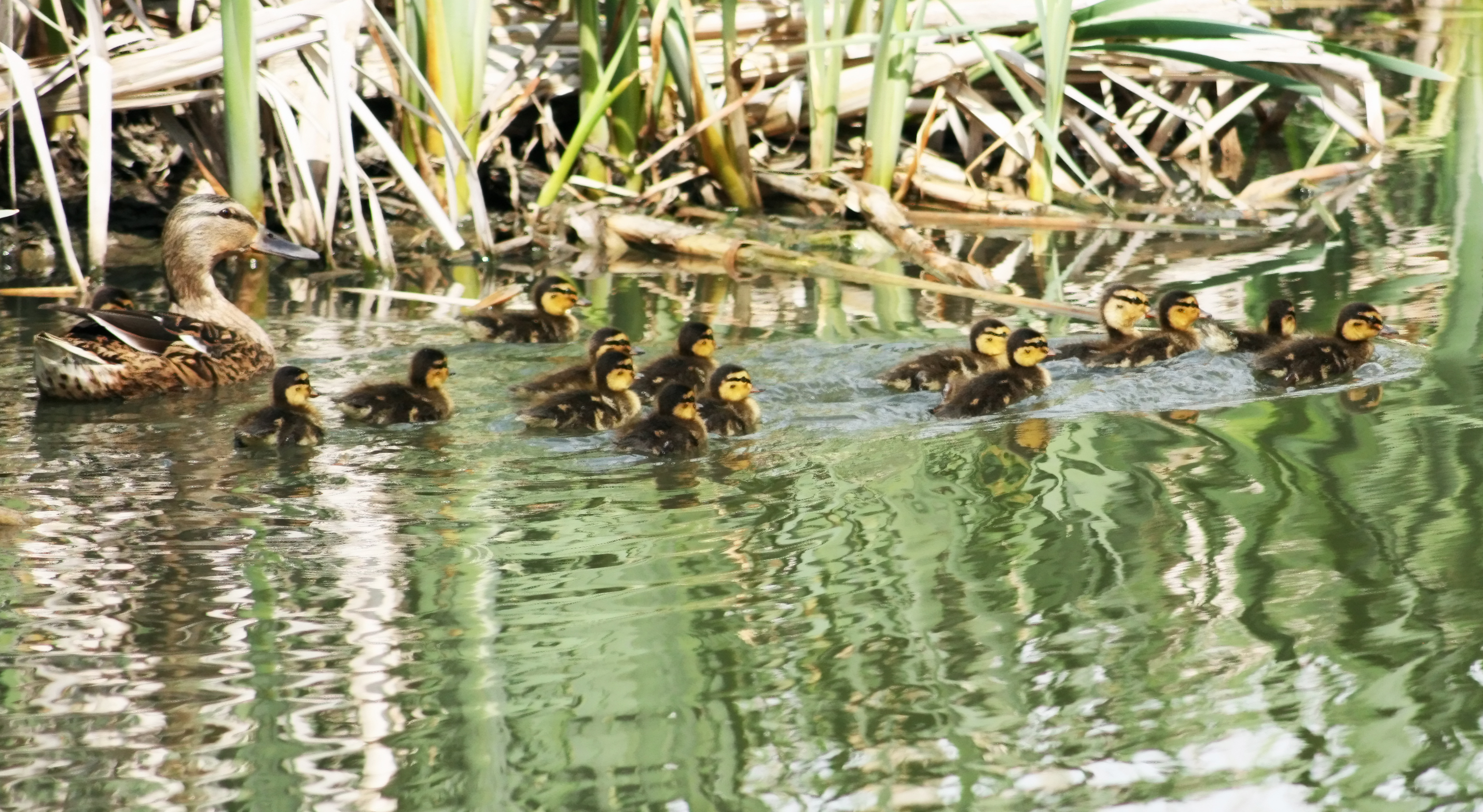 Mother duck with her ducklings in the garden of remembrance pond