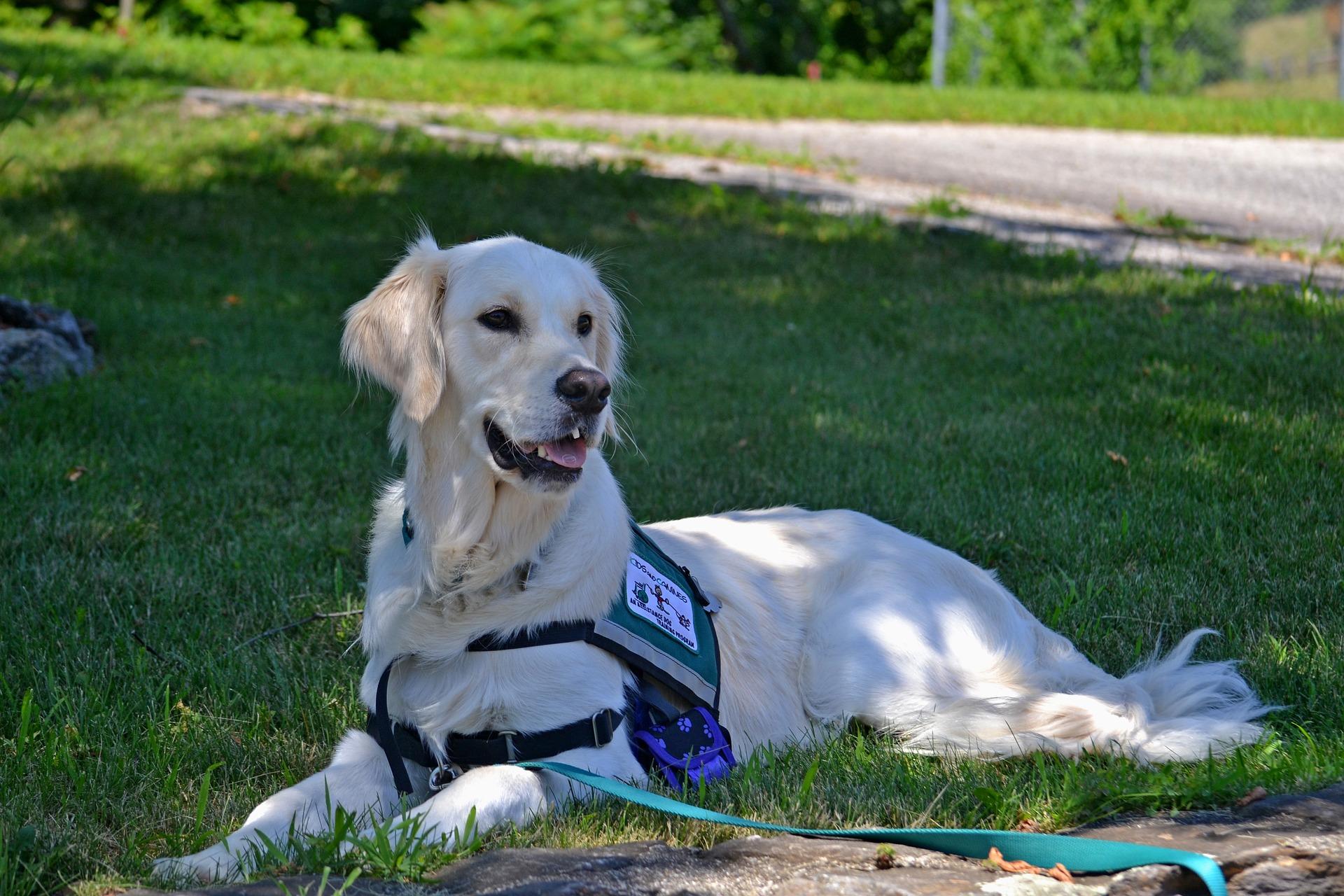 Service dog in walking lead