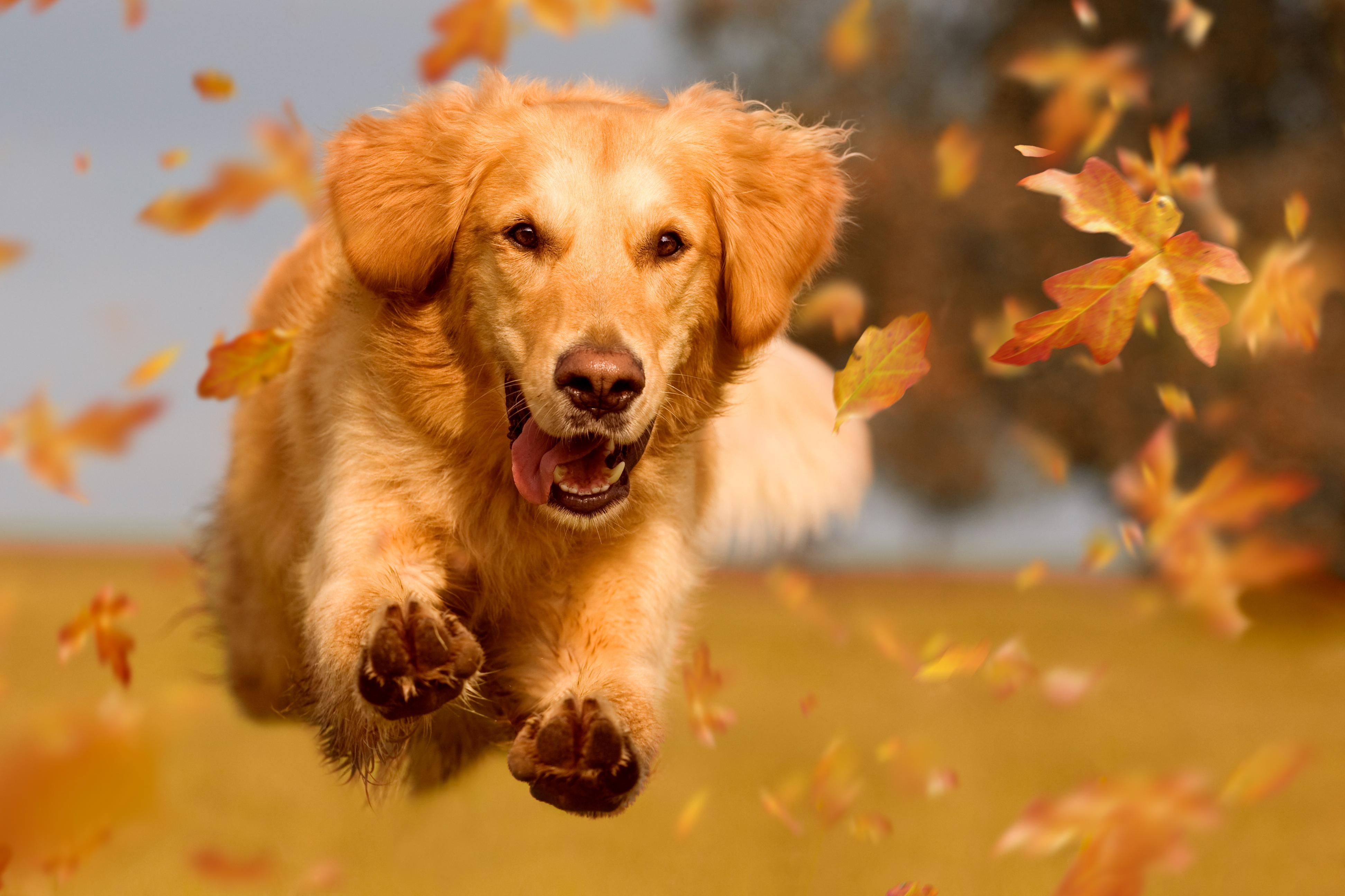 dog running through autumn leaves