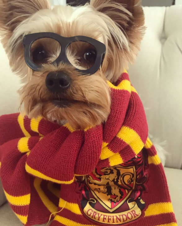 Halloween with pets - dog dressed as harry potter