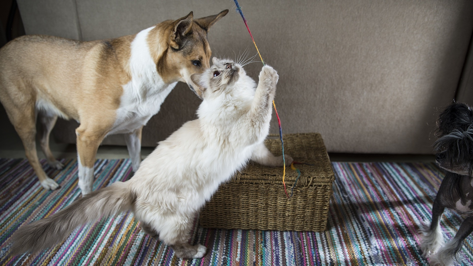 Keep your cat and dog entertained on Bonfire ngiht