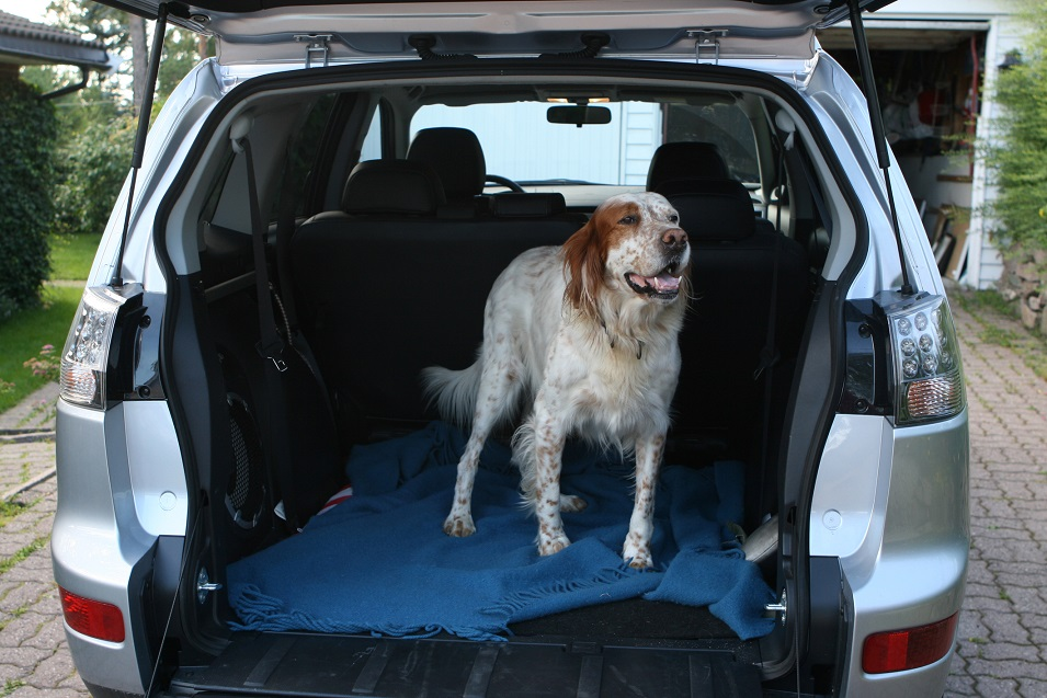 English setter waiting impatiently to be brought to the forest for a walk.