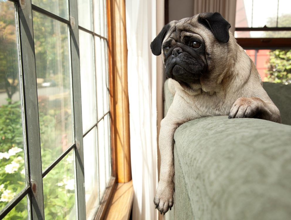 Pug with back to school blues
