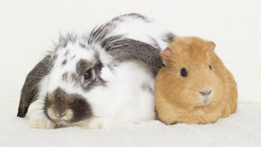 Rabbit & guinea pig