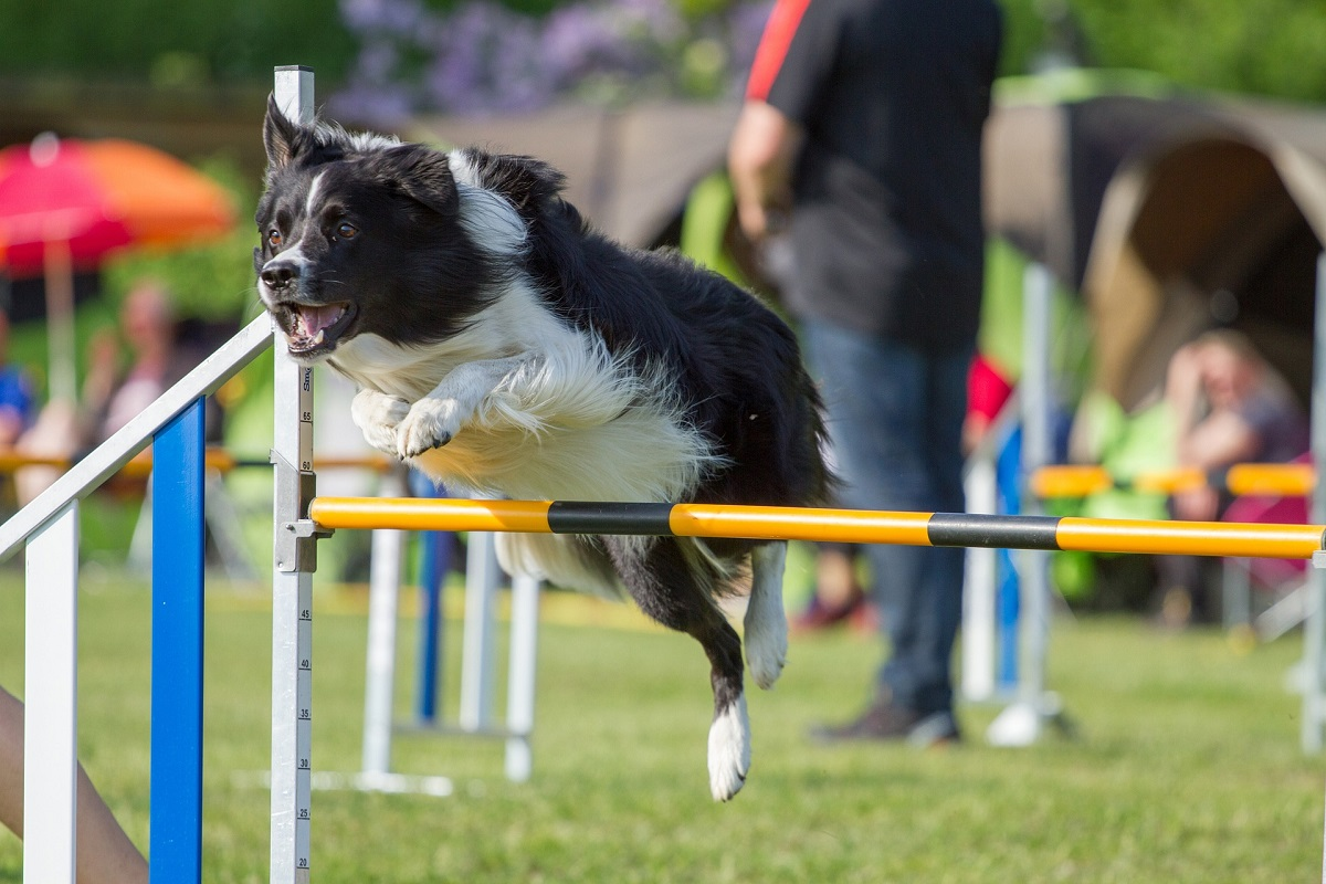 Agile Collie
