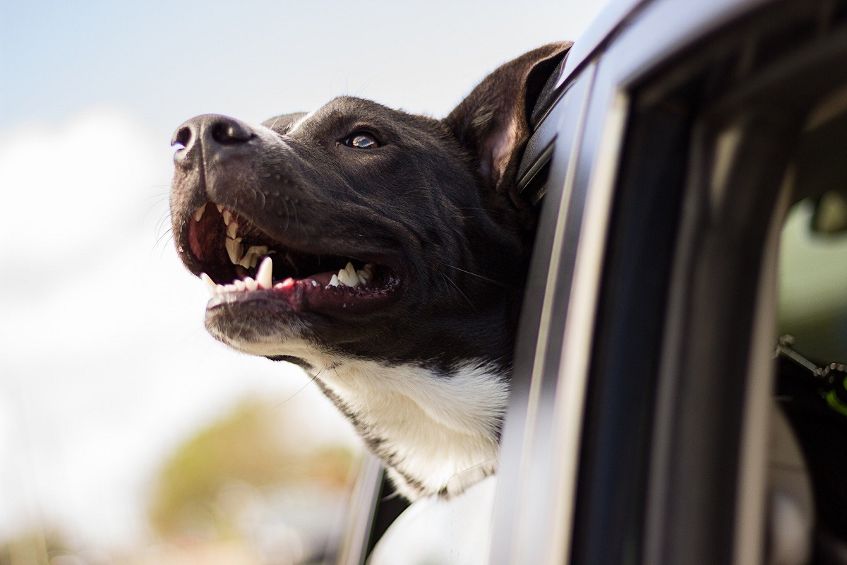 dogs must be secured when in cars