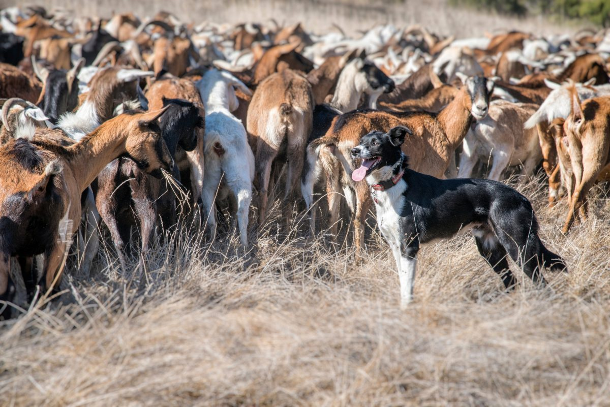 Border Collie Herding