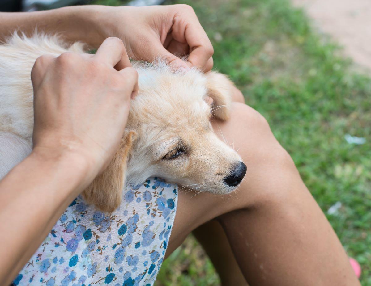 applying flea treatment to puppy