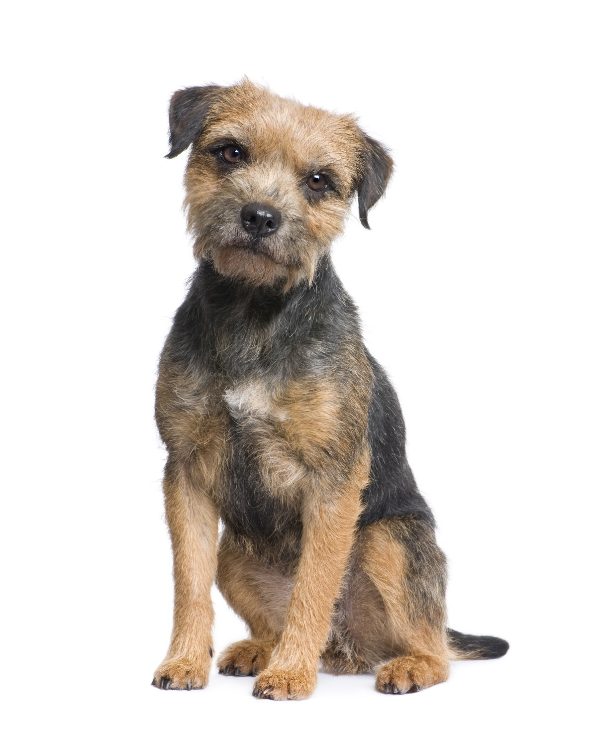 Border Terriers need hand stripping