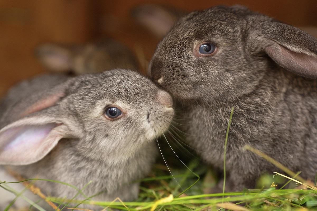 rabbits meeting